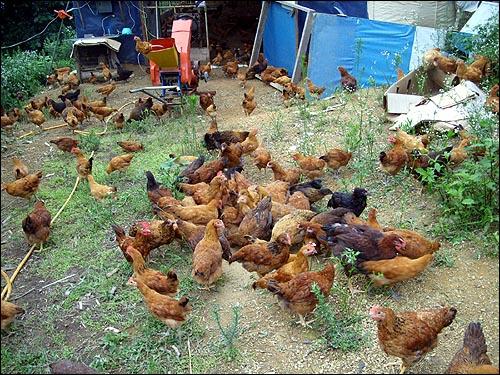 낮에는 항상 밖으로 나와서 놀고 있는 유홍렬씨의 닭들은 행복하다. 낮에는 항상 밖으로 나와서 놀고 있는 유홍렬씨의 닭들은 행복하다.